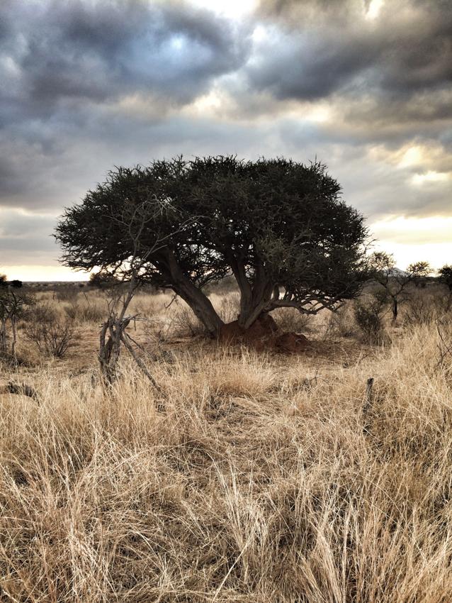 Shephard's Tree